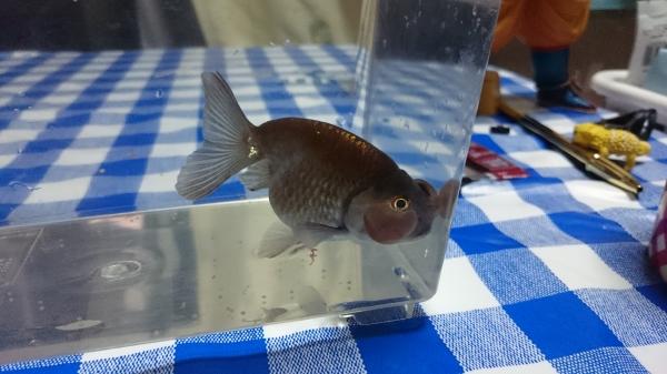吉岡養魚場:メノウ水泡眼