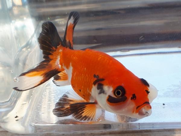 中国金魚のハマトゥユイ