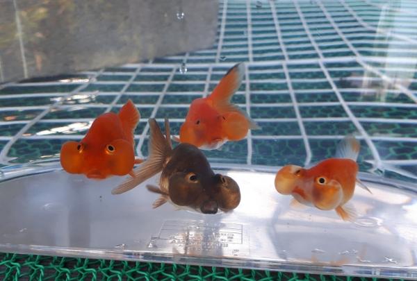 平賀養魚場:水泡眼