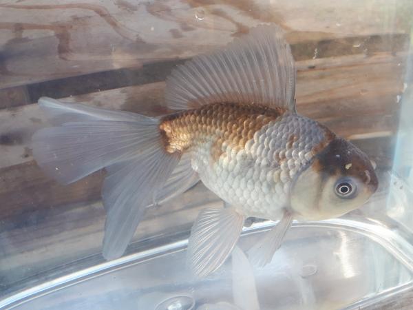 ブロードテール青文魚