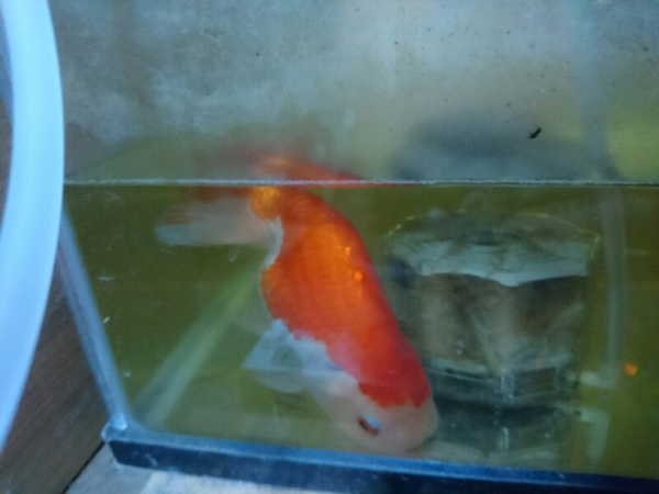 稚魚から育てて大きくなりました