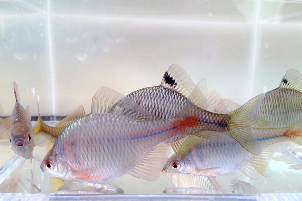 川村淡水魚販売