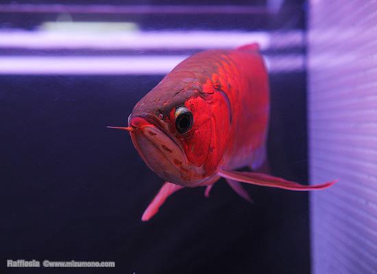 幸運を呼ぶ魚「スーパーレッド」