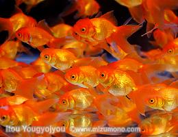 夏は金魚の季節!〜夏場の水温上昇対策〜