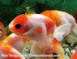 金魚の撮影のコツ