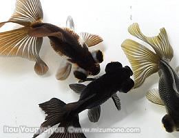 金魚を上から見たところ