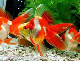 金魚のイロハ