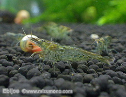 shrimp140705.jpg