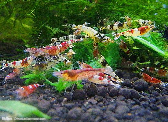 shrimp150106.jpg