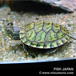 ミシシッピアカミミガメ(ミドリガメ)