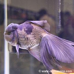 青文魚(セイブン)