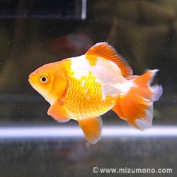 土佐錦魚(トサキン)